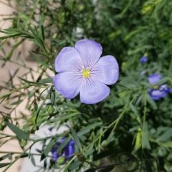 Linum usitatissinum Semences du Puy