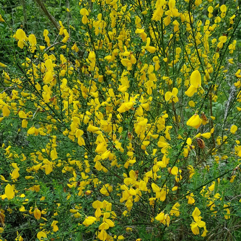 Cytisus scoparius Semences du Puy