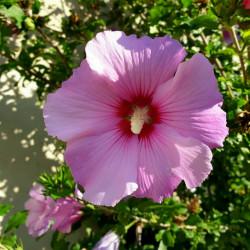 Hibiscus syriacus Semences du Puy
