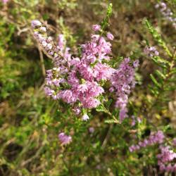 Calluna vulgaris Semences du Puy