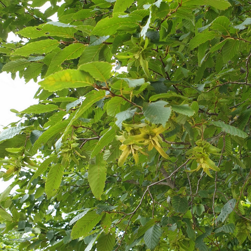 Carpinus betulus Semences du Puy